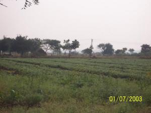 Crops in the farm land owned by the orphanage.